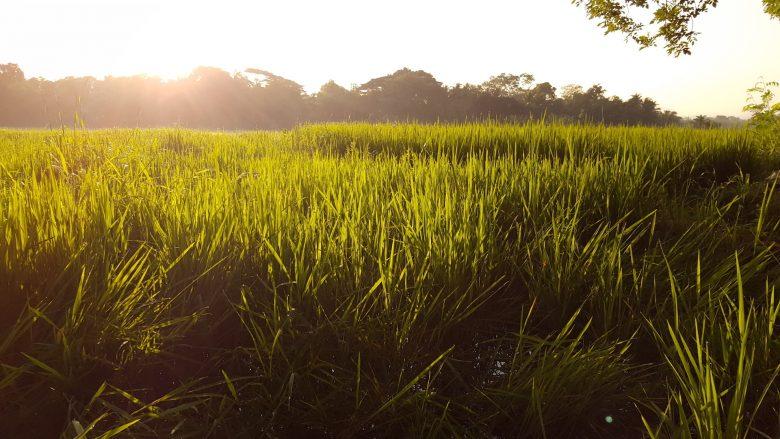 rice fields backpacking Sri Lanka
