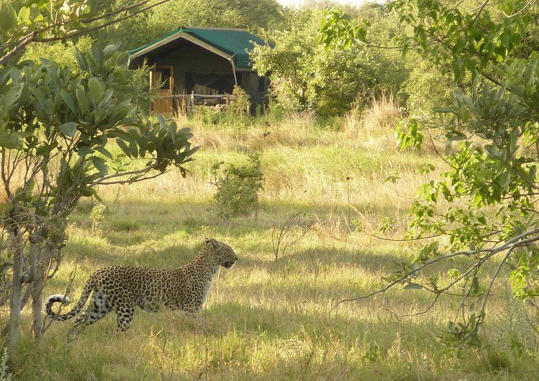 sango safari camp2 leopard