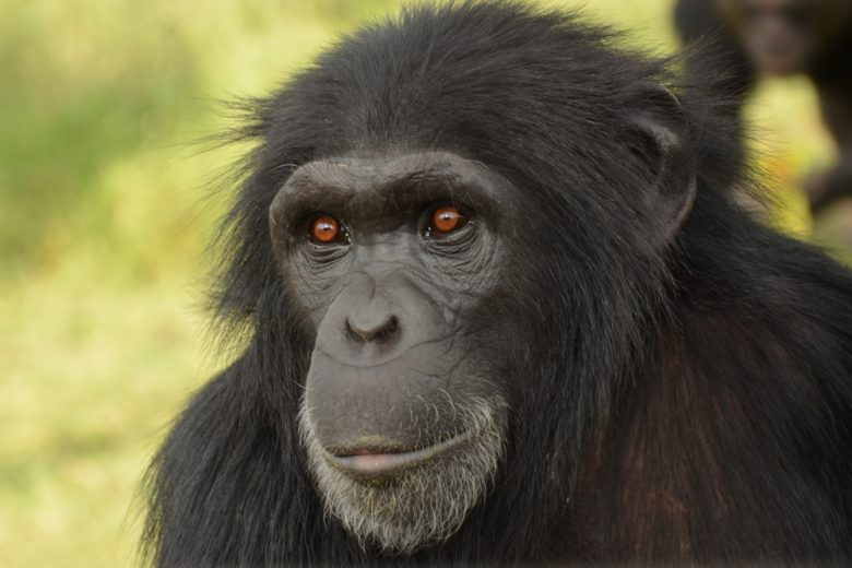 Kenya Gorilla 2
