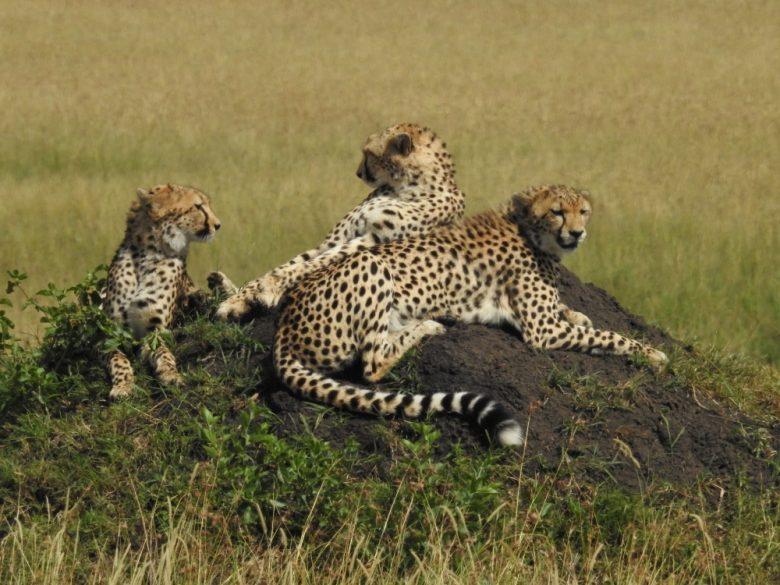 Kenya cheetahs