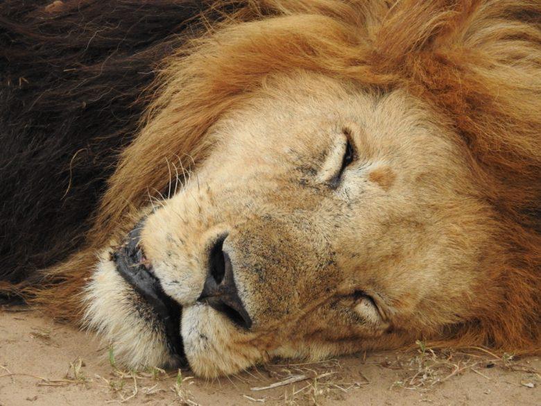 Kenya sleepy lion