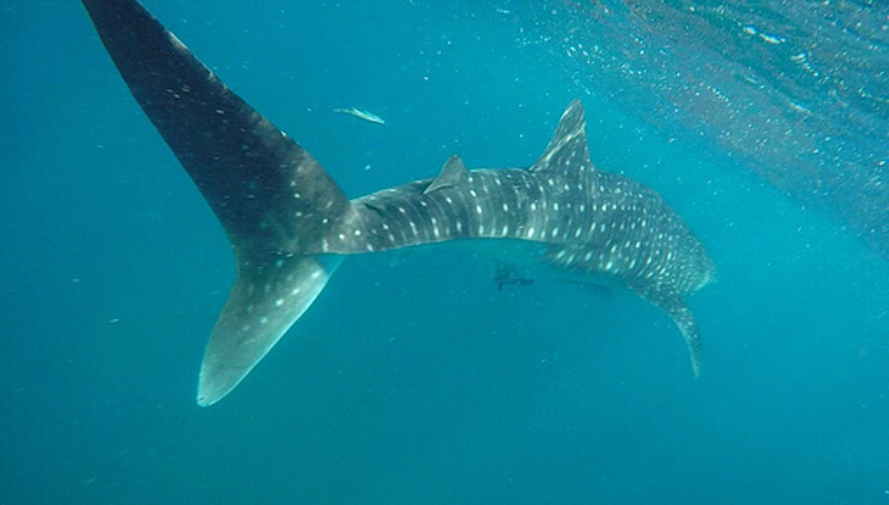 whale shark tofo