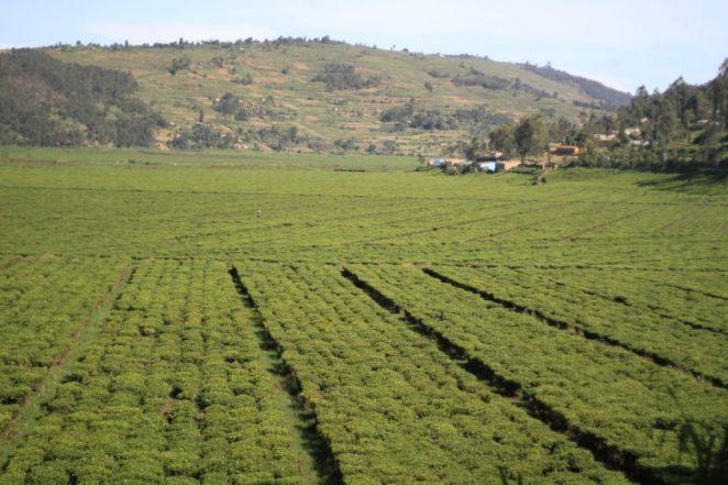 Tea Vegetation in Rwanda