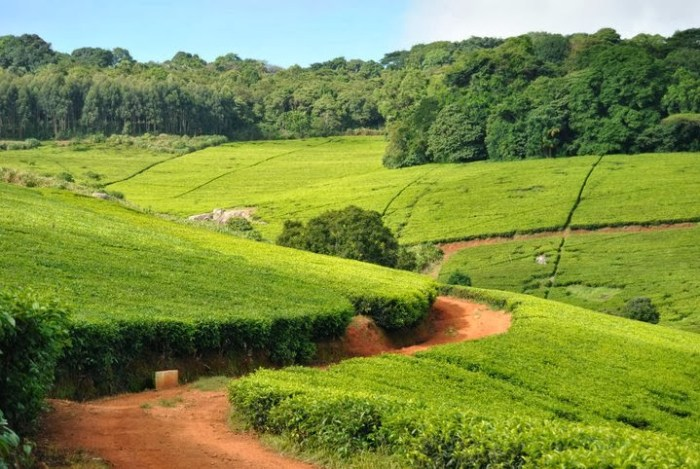 piantagioni-di-te-malawi