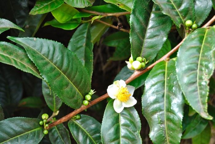 Il fiore della pianta del tè