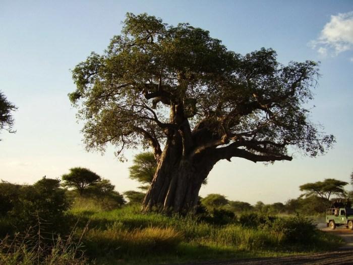 Uno dei tanti baobab del parco del Tarangire