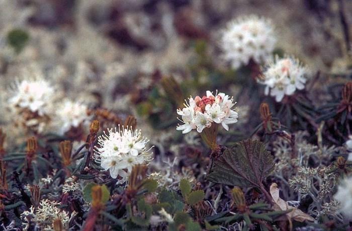 La pianta del Ledum Palustre