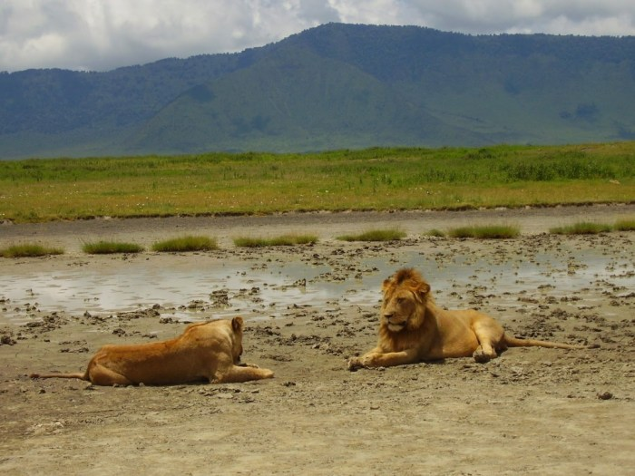 leone-e-leonessa-ngorongoro