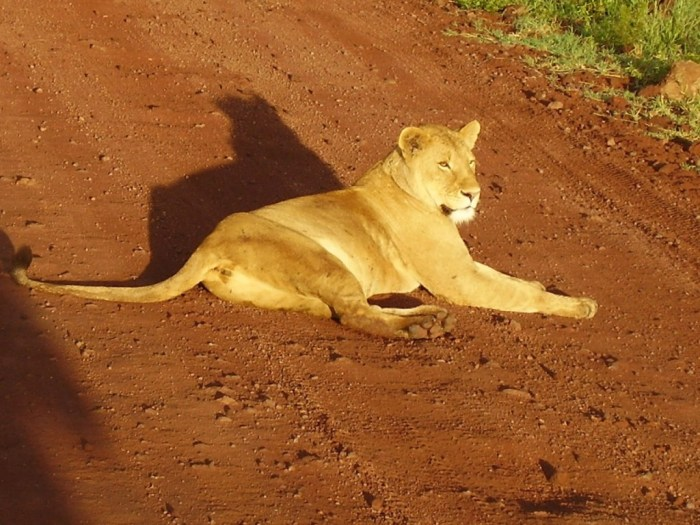 Una leonessa, sdraiata nel mezzo della strada, ci blocca il passaggio