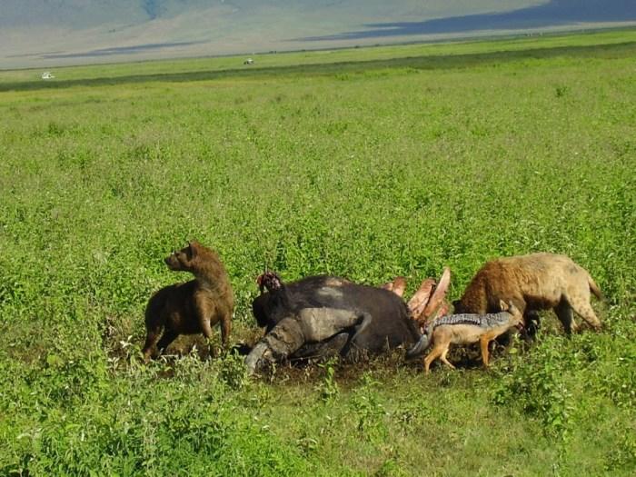 Iene, sciacalli e avvoltoi si contendono una carcassa di bufalo