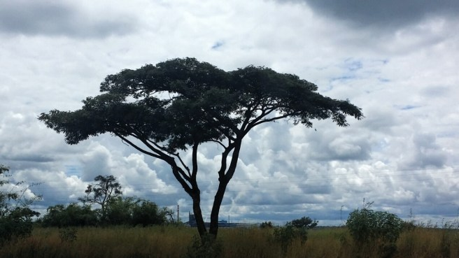 The African Acacia tree