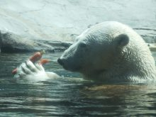Polar Bears, San Diego Zoo