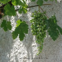Grape Vines in Delphi, Greece