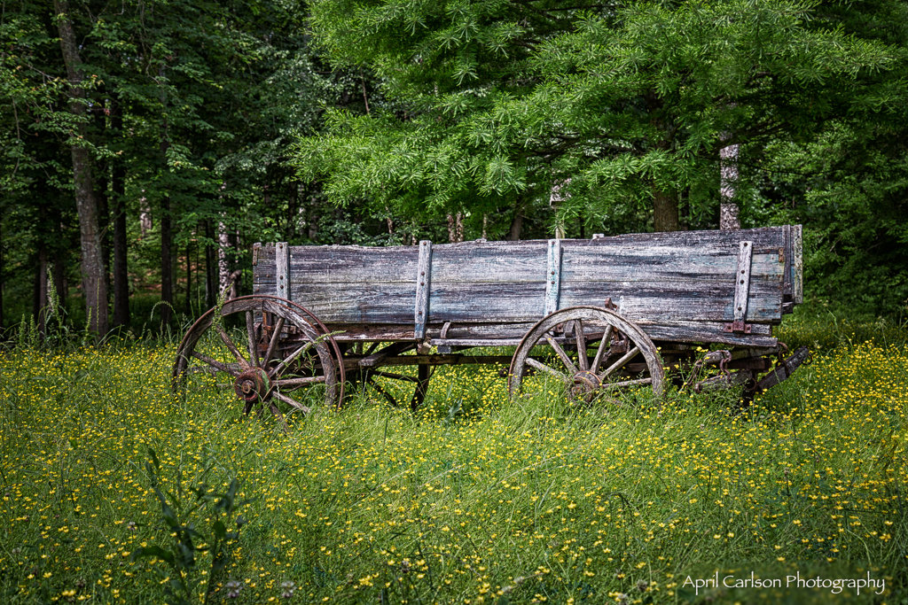 Gardens for Connoisseurs Tour 2017: Wagon in beautiful field of yellow flowers
