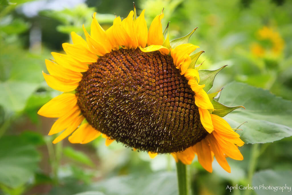 Sunflower Festival at Copper Creek Farm: close up of very large sunflower