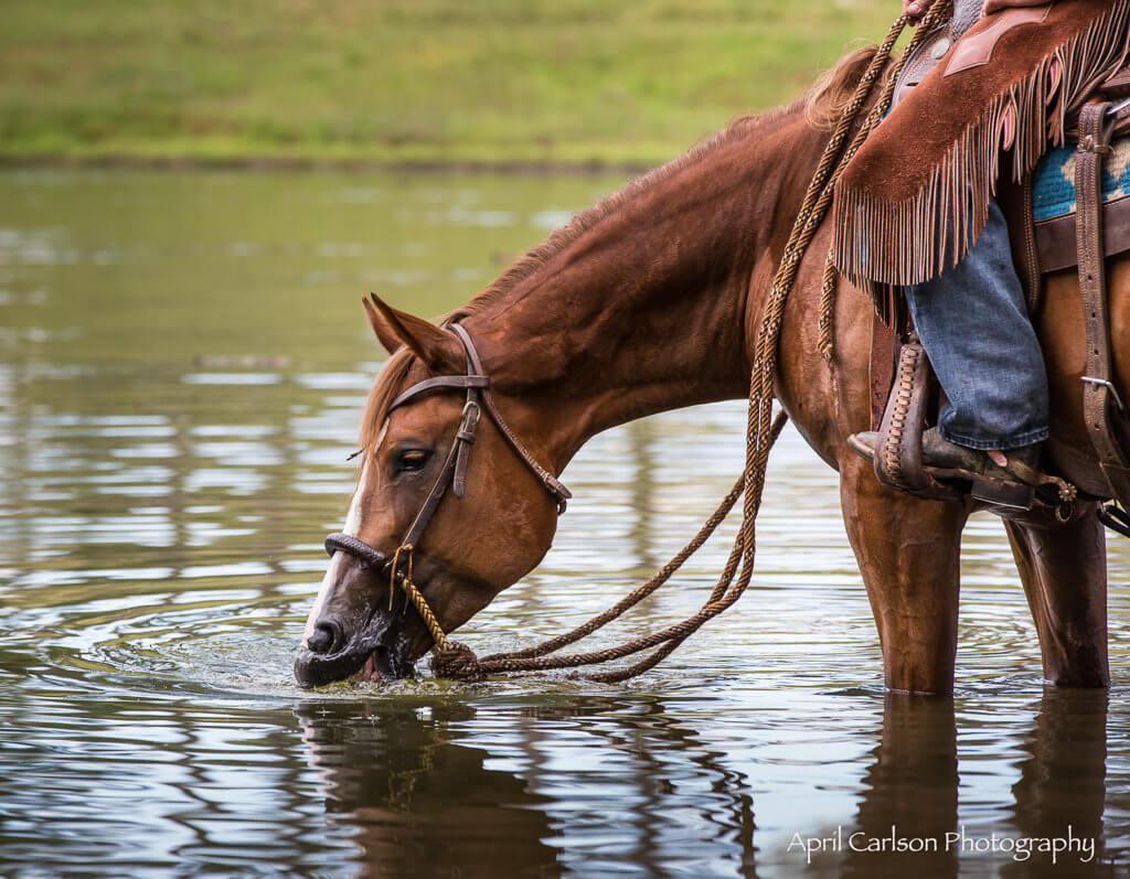 Horse Photography Workshop: Horse drinking in pond