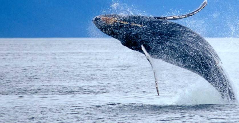 Whale Watching Cruises In Alaska