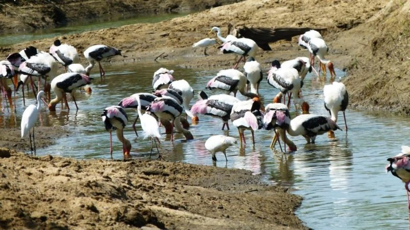 Birding In Uda Walawe National Parks, Sri Lanka