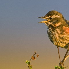Northeast Iceland Bird Watching Locations