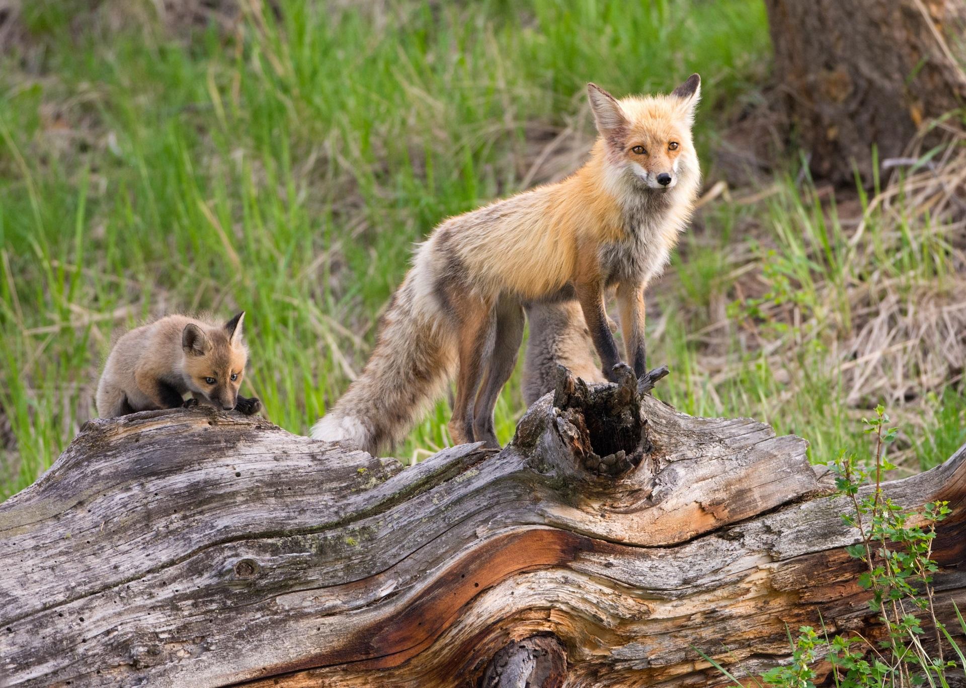 Yellowstone National Park animals