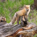Greatest Wildlife Watching Spots In Yellowstone National Park