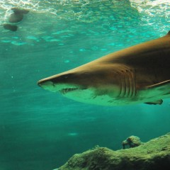 Australia Shark Diving Opportunities To Consider