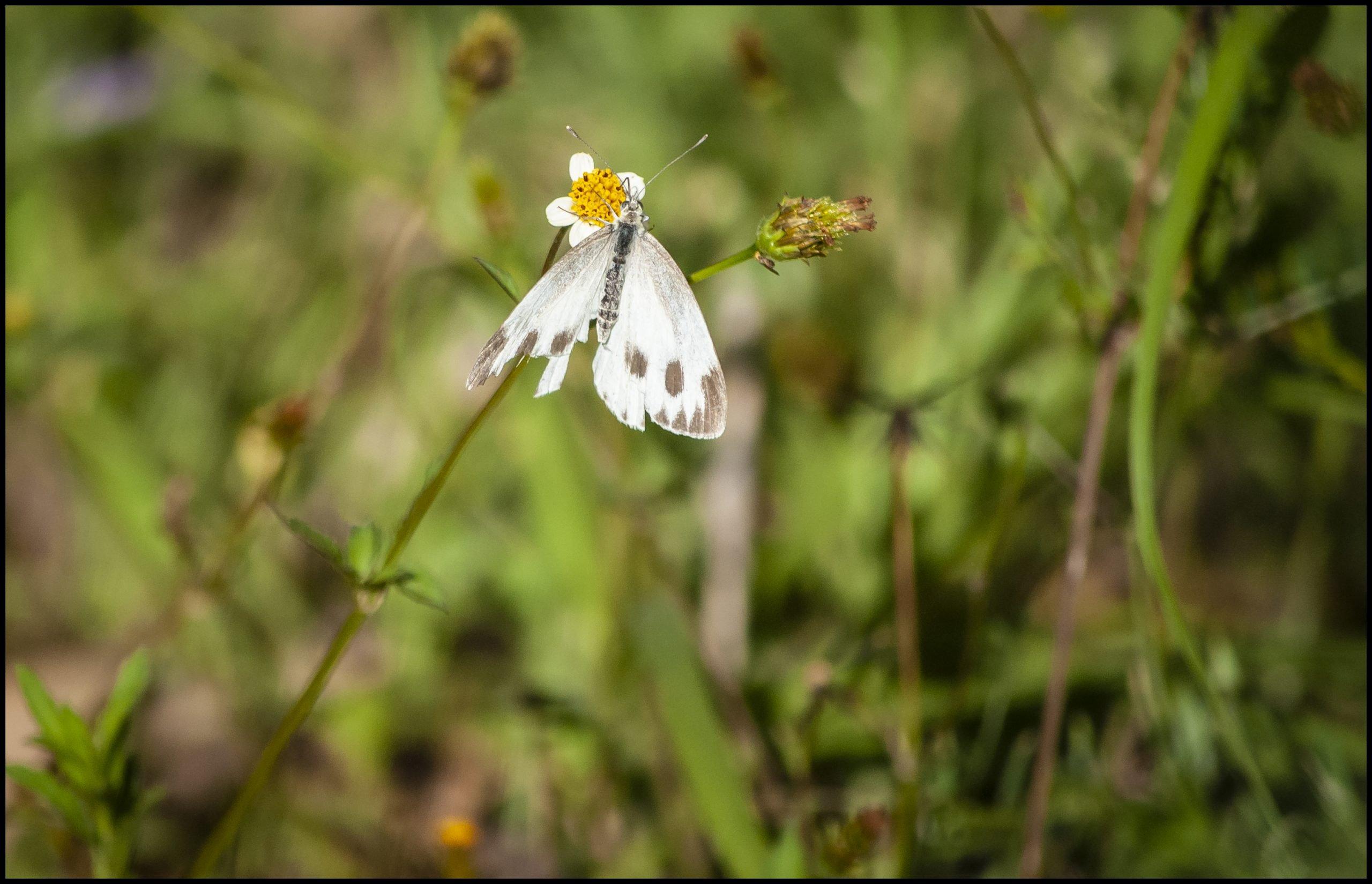 Butterflies of Himalaya
