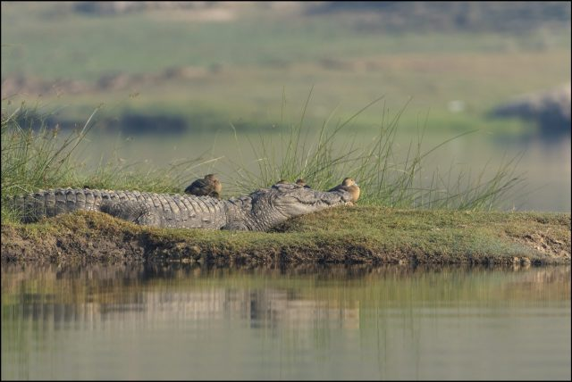 crocs in Chambal River, India