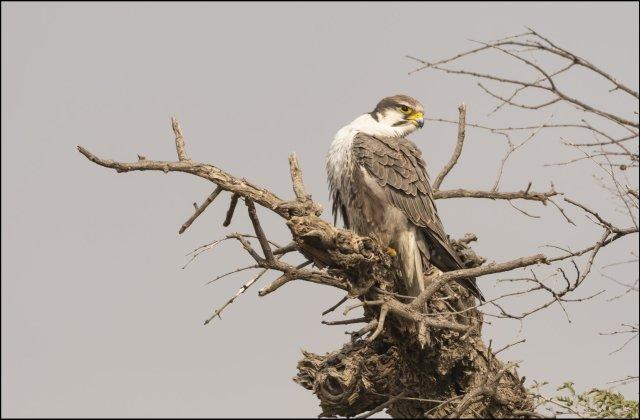 Falcons of India: Laggar falcon