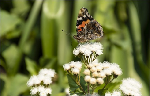 spring in the mountains, Indian red admiral