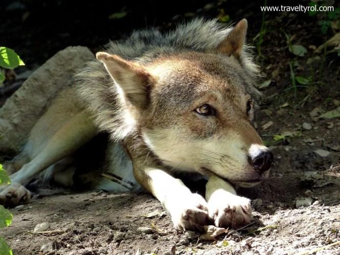 Wolf Alpine Zoo Innsbruck