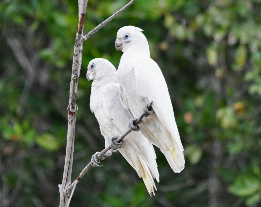 Little corella (aka Blue-eyed cockatoo) - Cacatua sanguinea