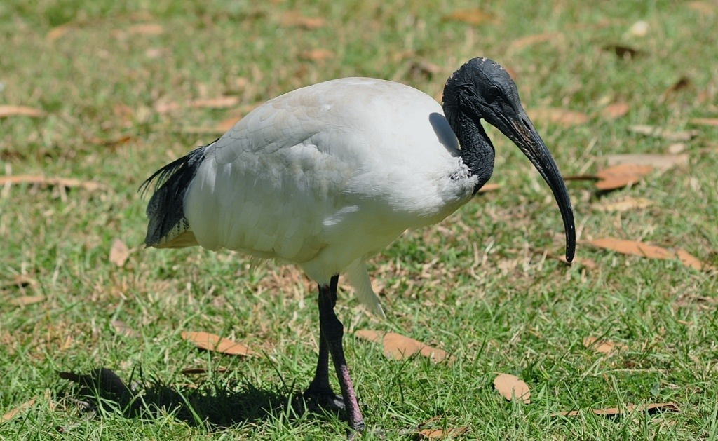 Australian white ibis - Threskiornis molucca