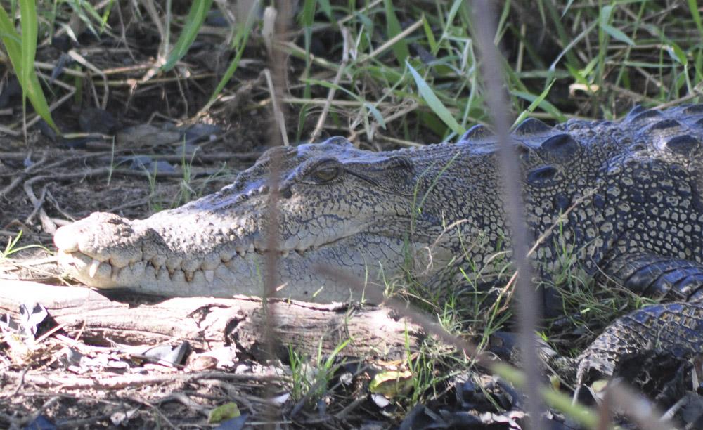 Crocodile Corroboree