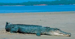 crocodile - beach