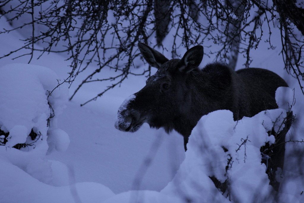 Eventually we saw a moose © Rune Ness - source: www.flickr.com Used under Creative Commons Licence