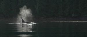 orca 06