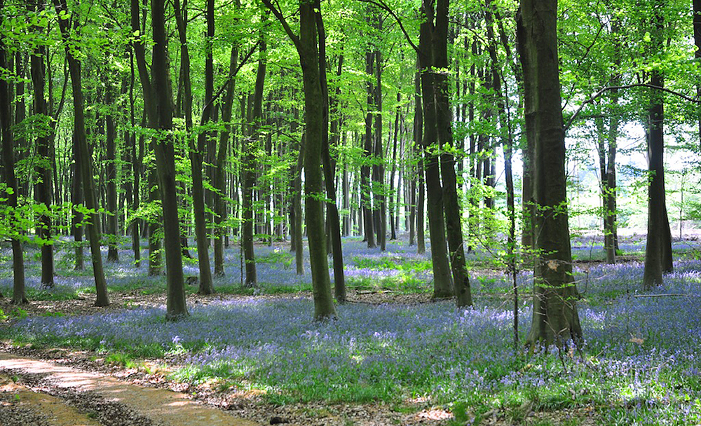 There is very British about a bluebell wood