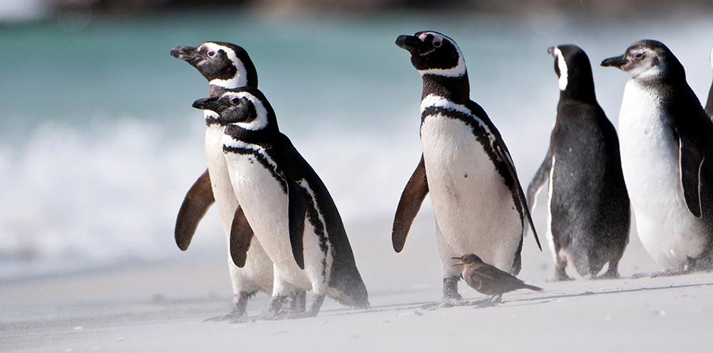 Magellanic Penguins www.alamy.com