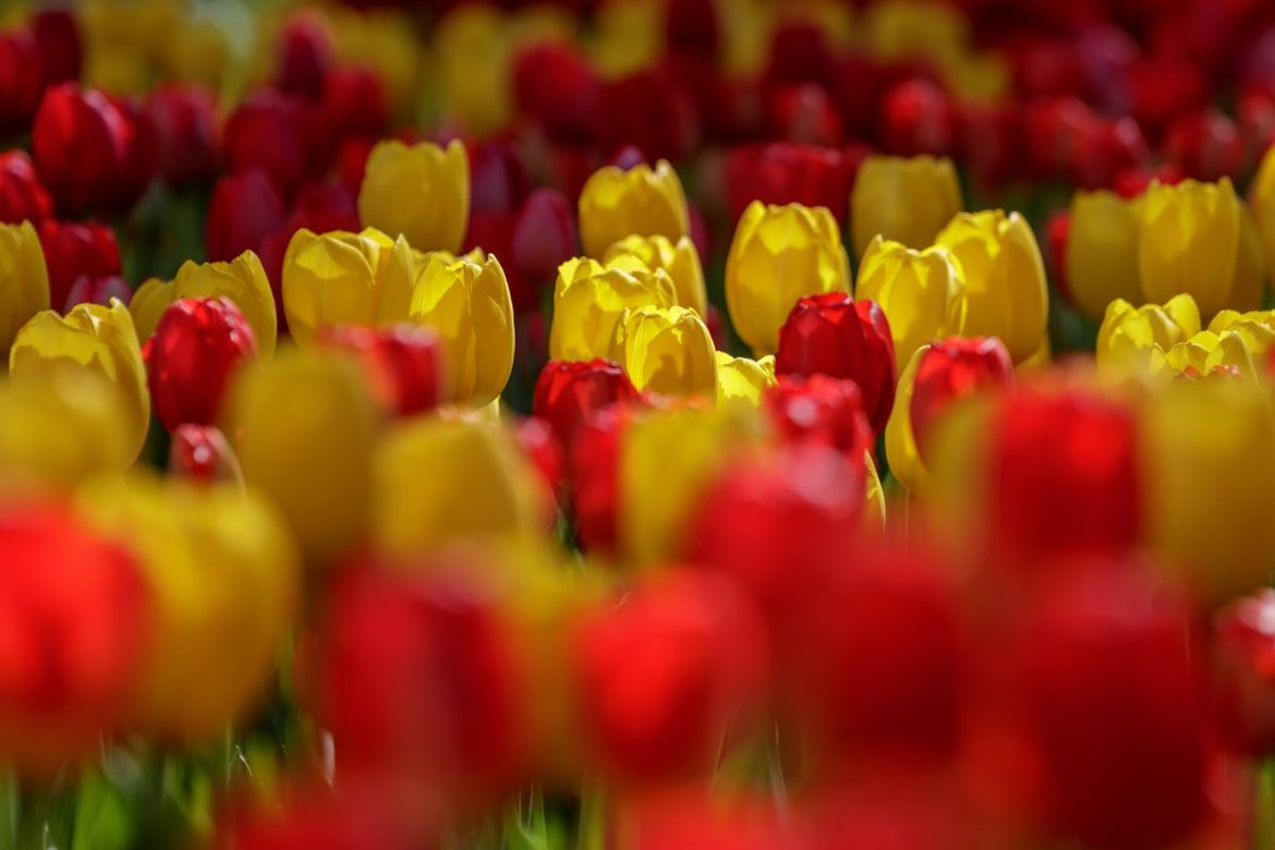 Close up of tulips in the gardens at Keukenhf