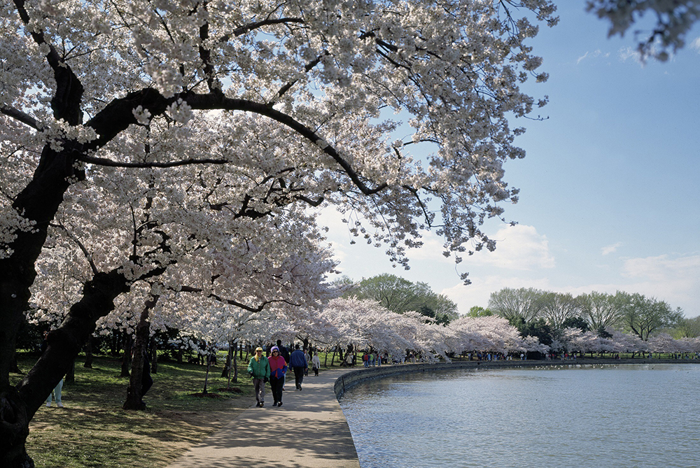 Cherry trees flowering next to the Tidal Basin in Washington DC