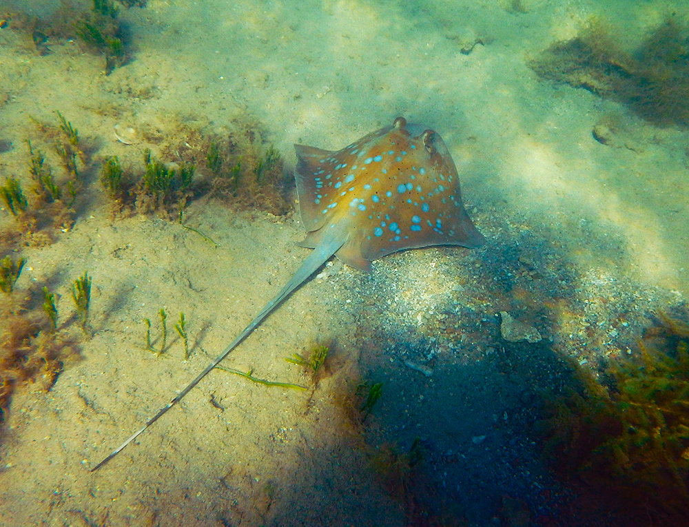 Blue Spotted Maskray