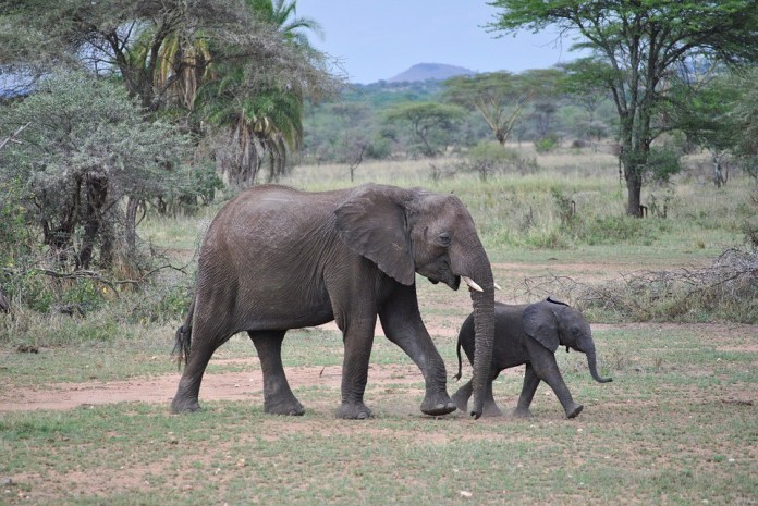 Top tourist destinations in Tanzania - elephants