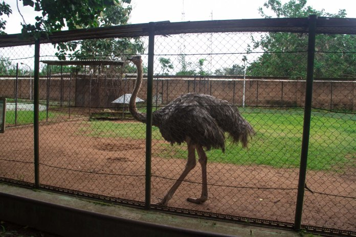 ostrich ibadan zoo
