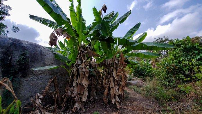 plantain plantation Oyo