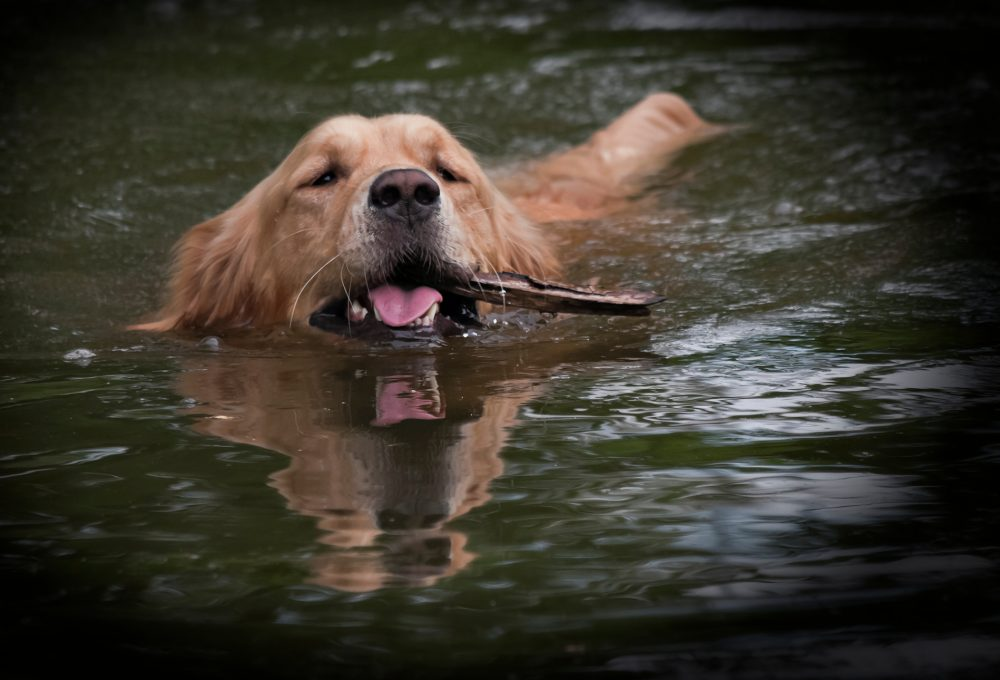 Golden Retriever everging from water