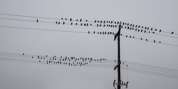 Birds on power lines in Ontario