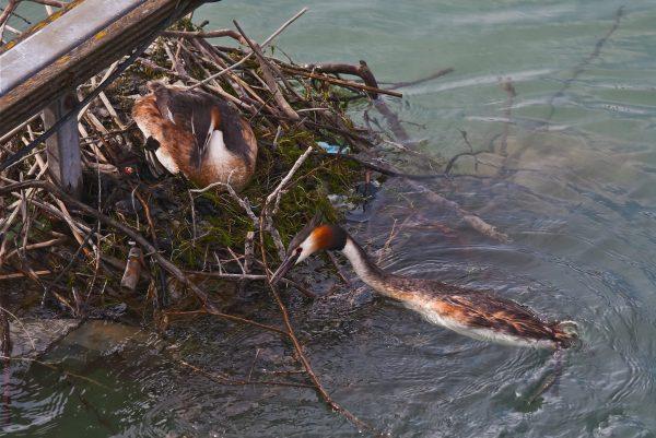 Birds nest on Lake Constance, Germany