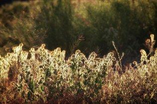 Glowing desert weeds