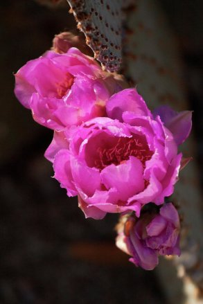 Pink cactus flowers
